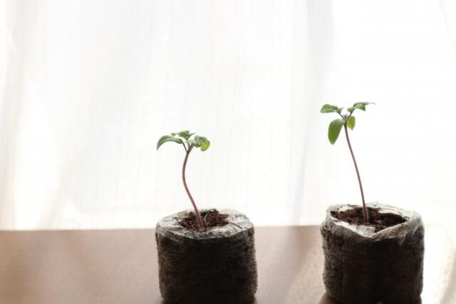 トマトの土耕栽培キット