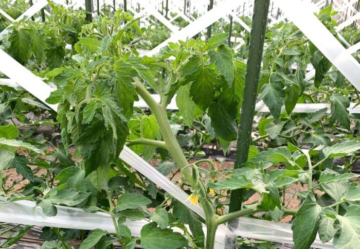 理想のトマトの茎