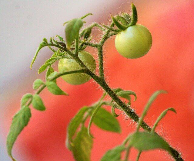 細いトマトの茎